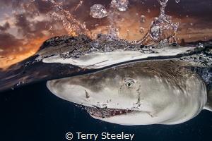 Few encounters are more rewarding shooting sunset splits wonderfully cooperative lemon shark. Subal underwater housing Canon 1Dx EF815mm fisheye 15mm f11 1160 ISO320 2x Inon Z240 strobes co-operative co operative shark EF8-15mm EF8 1/160, 1160, 160,