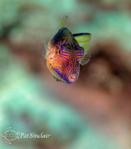 Sharpnosed puffer by Patricia Sinclair