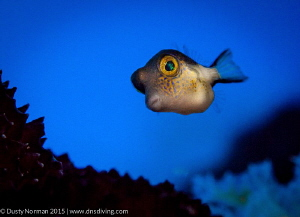 """""""Puffer Face"""" A Sharpnose Puffer on a blue background. by Dusty Norman"""