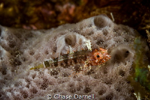 """""""Triple Fin Pose"""" The Triple Fin Blenny has become one o... by Chase Darnell"""