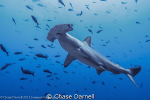 """""""Hammer Encounter"""" A Hammerhead comes in for a close look. by Chase Darnell"""