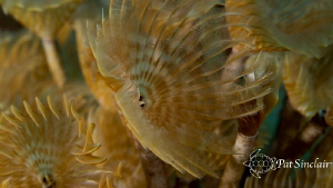I love social feather dusters and in Roatan,they are brow... by Patricia Sinclair