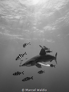 Oceanic White Tip Shark by Marcel Waldis