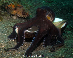 Coconut Octopus - its my shell by Debra Cahill