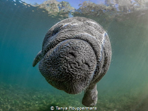 Whatcha Doing? A very curious 2-month old baby manatee w... by Tanya Houppermans