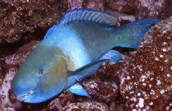 Big Ol' Parrot Fish by David Spiel