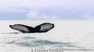 tail of humpback whale , Bahia Solano , Colombia by Susanna Randazzo