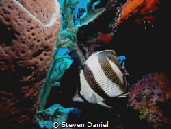 Butterfly fish by Steven Daniel