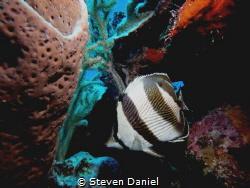 Butterfly fish by Steven Daniel