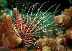 Resting lionfish. by Alex Lim