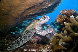 Green Sea Turtle resting in the reef, Apo Island, Philipp... by Daniel Geary