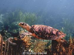 hawksbill turtle by Steven Daniel