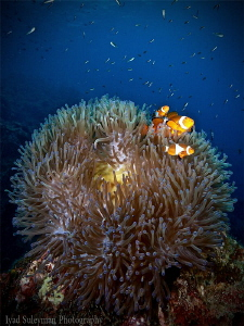 A family of Anemonefish by Iyad Suleyman