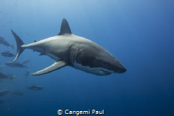 Great White by Cangemi Paul