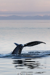 Sunset flukes. A splendid night of majestic whale flukes ... by Terry Steeley