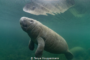 Gaining Independence A manatee calf surfaces for a breat... by Tanya Houppermans