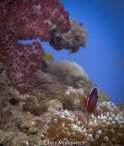 Soft Coral and Tomato clown fish in Fiji by Chris Miskavitch