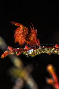 phycocaris simulans.