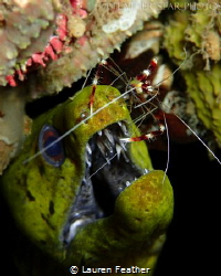 A Banded Coral Shrimp cleaning the teeth of a Fimbriated ... by Lauren Feather