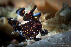 Painted Frog Fish by Joyce Chang