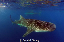 Two passing whale sharks. Southern Leyte, Philippines. Sh... by Daniel Geary
