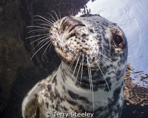 Curious Atlantic Grey Seal poses for the camera. by Terry Steeley