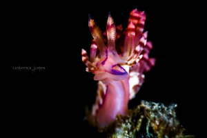 Flabellina rubrolineata by Wayne Jones