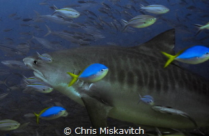 Tiger shark coming in for a closer look. by Chris Miskavitch