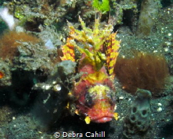 Yellow Shortfin Lionfish Lembeh Strait by Debra Cahill