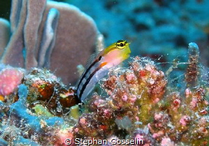 Clown blenny posing for me. by Stephan Gosselin