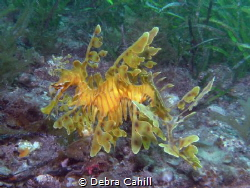 Leafy Sea Dragon Rapid Bay South Australia by Debra Cahill