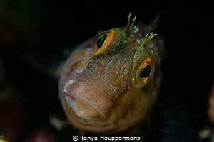 Funny Face A blenny in the reefs off the coast of Clearw... by Tanya Houppermans