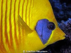 bluecheek butterflyfish by Joachim Neumann