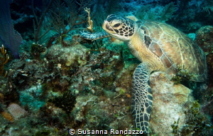 Green sea turtle by Susanna Randazzo