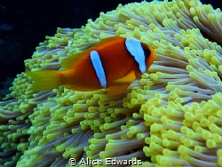 Took this phot in the Red Sea last week, taken at Daedalu... by Alice Edwards
