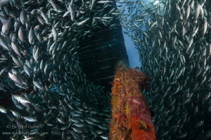 School of Bigeye scad -Arborek jetty-Raja Ampat by Richard Goluch