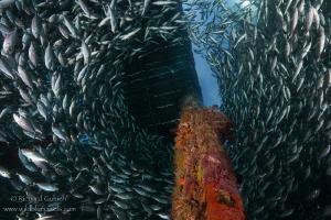 School of Bigeye scad -Arborek jetty-Raja Ampat by Richard Goluch