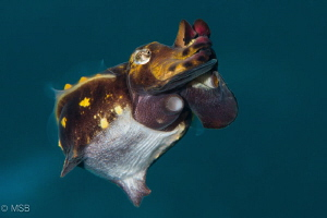 Flamboyant cuttle fish from different angle of view. by Mehmet Salih Bilal