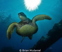 Green Sea Turtle. by Brian Mcdaniel