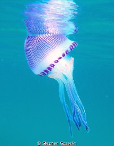 Jelly fish as close as I dared by Stephan Gosselin