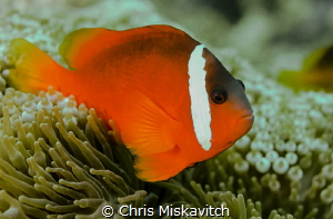 Tomato clown fish. by Chris Miskavitch