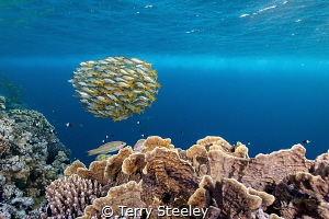 Ehrenberg Snappers, Elphinstone reef. I'm no fan of scru... by Terry Steeley