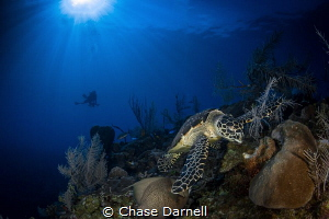 """""""My Reef"""" A Hawksbill Turtle settling down to feed with ... by Chase Darnell"""