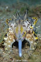 Feeding Flamboyant Cuttlefish - Dauin, Philippines. Olymp... by Daniel Geary