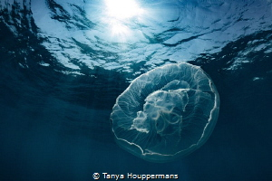 Celestial A moon jelly in the waters off of Key West, Fl... by Tanya Houppermans
