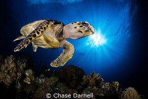 """""""Sun Kissin"""" A Hawksbill Turtle cruises over the top of ... by Chase Darnell"""