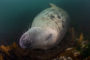 Sleeping Beauty - Seal fast asleep on the seabed and not ... by Spencer Burrows
