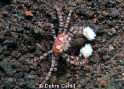 Boxer Crab - gloves up Tulamben Bali by Debra Cahill