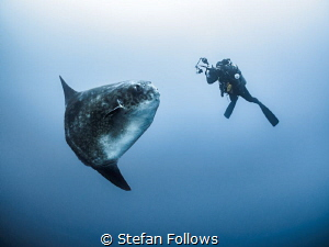 It's just not my turn yet ... ! Southern Ocean Sunfish - ... by Stefan Follows