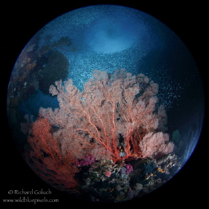 """Planet Raja""-coral garden with school of Anchovies at Tw... by Richard Goluch"